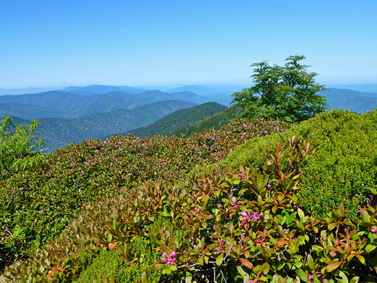 View across laurel slicks near the summit of Mount Le Conte